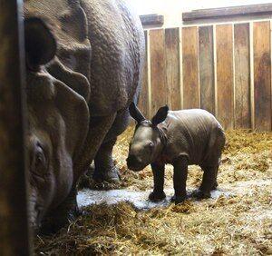 Radość w zoo. W święta urodził się nosorożec