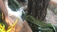 Po ściągnięciu pumy z drzewa zbadali ją biolodzy (California Department of Fish & Wildlife)