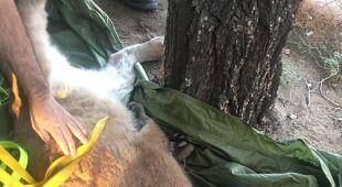 Akcja ratunkowa pumy (California Department of Fish & Wildlife)