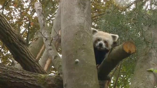 Poznajcie Bartka, pierwszą pandę czerwoną w gdańskim zoo