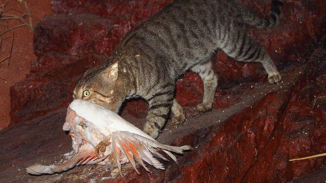 Śmiercionośne kiełbaski. Australia chce zabić dwa miliony dzikich kotów