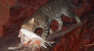 Dzikie koty w Australii zagrażają innym ssakom